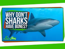 why don u0027t sharks have bones youtube