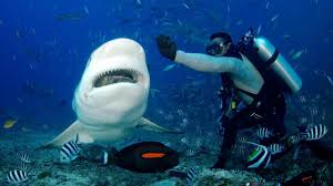 bbc travel in fiji diving with big hungry sharks