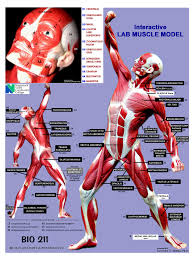 Anatomy And Physiology Human Body Anatomy And Physiology Muscles Location Action Origin And