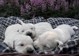 english cream white golden retriever puppies for sale