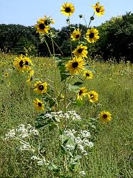 Grinter Farms Wildflowers In The Konza Prairie Near Manhattan Kansas Country