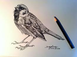 drawn robin sparrow pencil and in color drawn robin sparrow