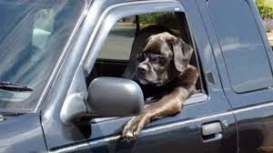Dog Driving Meme - how to help a dog with car anxiety rover com
