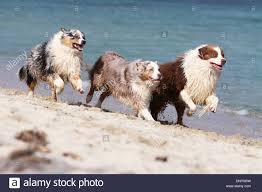 running with australian shepherd puppy dog australian shepherd aussie three stock photos u0026 dog australian