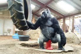 koko the gorilla u0027s enclosure needs roof replacement