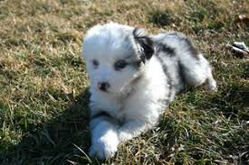 australian shepherd akc view ad australian shepherd puppy for sale illinois roberts usa