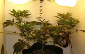 cfl lights for growing weed interesting growing weed in small spaces by decorating ideas outdoor