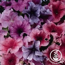 petunia flowers petunia series pelleted