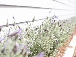 purple flowering australian native plants australian native plants and flowers archives realestate com au