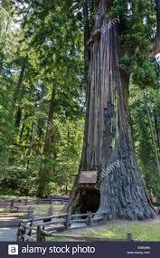 Chandelier Drive Through Tree Drive Through Redwood Stock Photos U0026 Drive Through Redwood Stock