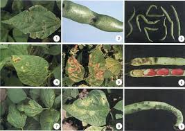 Plant Diseases Caused By Microorganisms - bacterial diseases of beans fact sheet