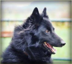 belgian sheepdog laekenois belgian sheepdog laekenois puppy dog photography puppies doggie