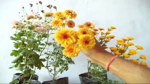 how to grow chrysanthemum plant in the pot winter flowers