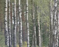 birch tree forest trunks white black zebra colors stock footage