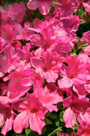 Flowering Privacy Shrubs - easy to trim privacy shrubs home guides sf gate