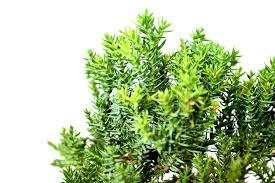 amazon com 9greenbox juniper bonsai starter 4 u0027 u0027 pot live