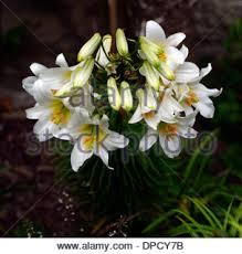 White Trumpet Flower - white lily flower lilium longiflorum stock photo royalty free