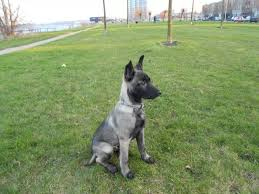 9 month old belgian malinois 149 best dogs images on pinterest german shepherds military