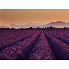 lavender fields wall mural 315cm x 232cm purple lavender fields wall mural 315cm x 232cm