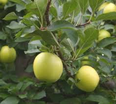 growing apples pears and asian pears backyard gardening the