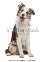 6 month old mini australian shepherd australian shepherd stock images royalty free images u0026 vectors