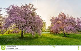 blossom trees pink blossom trees stock photo image of urban ontario 72140292
