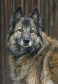belgian sheepdog rescue ohio belgian shepherd dog tervuren belgium dogs galore from