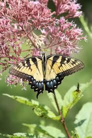 wildtype native plant nursery 22 best northern michigan native plants images on pinterest
