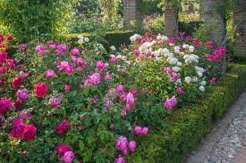tips for designing a beautiful rose bed u003e http www hgtvgardens