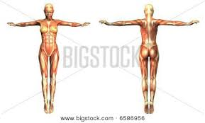 Full Body Muscle Anatomy Anatomy Muscle Map Image Cg6p586956c