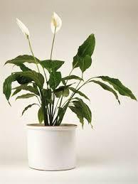 Fragrant Indoor House Plants - pretty indoor flowering plants today com