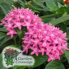 pentas flower buy pentas butterfly pink pentas online