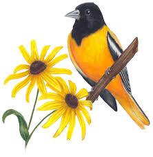 Maryland birds images Maryland state bird and flower baltimore oriole icterus galbula jpg