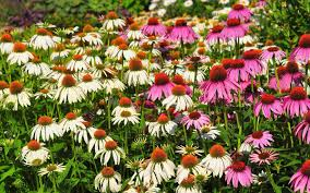 echinacea flower adding plants from the echinacea family to your garden
