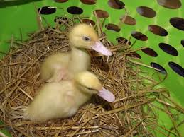 muscovy for sale ducks breed information omlet