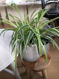 watering proper care after repotting spider plant gardening