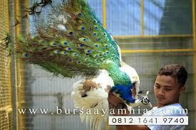 merak biru ready merak pied blue bursa ayam hias