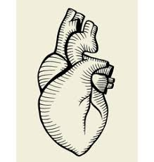 human heart sketch icon royalty free vector image