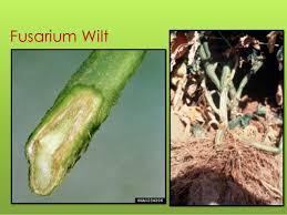 Tomato Plant Wilt Disease - sustainable tomato disease management for the se us