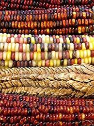 package of 200 seeds ornamental corn indian mixture