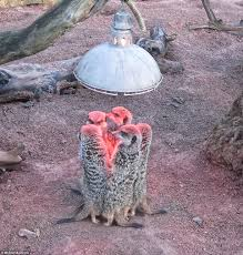 meerkats huddle up under a heat lamp to beat the british winter barbara arthur 60 from nuneaton captured the moment these meerkats in britain had to