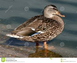 hen mallard duck waterfowl royalty free stock images image 1212389