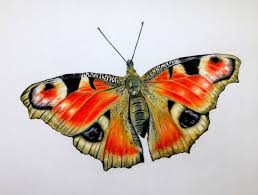 butterfly colour pencil drawing photo drawing of sketch