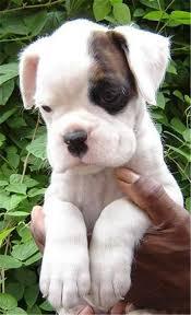 boxer dog white white american boxer dog puppy so cute kaufmannspuppy boxer dog