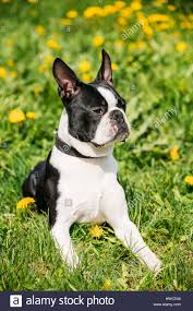 portrait of funny young boston bull terrier dog outdoor in green