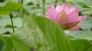 Lotus Flower Bloom - beautiful blooming lotus flower in pond stock footage video