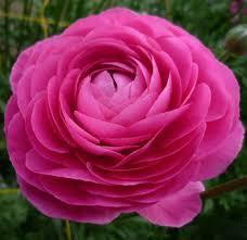 Ranunculus Flower Ranunculus Asiaticus Glamorous Pink Ranunculus Flowers U0027 Catalog
