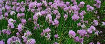 ornamental herbs horticulturehorticulture