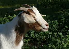 Get Your Goat Rentals by Boston Will Turn To U0027goatscaping U0027 To Clear Poison Ivy From Park