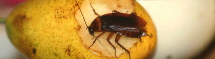 american roaches identification and american roach control guide